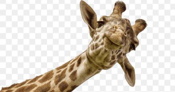 Baby Giraffe Clipart 4 Giraffe Clip Art Baby Free Image 18660 Elephant Clip Art Giraffe Pictures Cute Giraffe