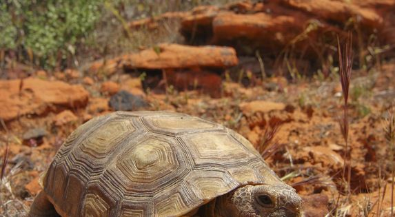 the extinction the desert tortoises and the need to protect them The us fish and wildlife service and the nevada department of wildlife protect tortoises born after the desert tortoise was placed on the endangered species list on august 4, 1989 it is illegal to harass or collect wild tortoises.