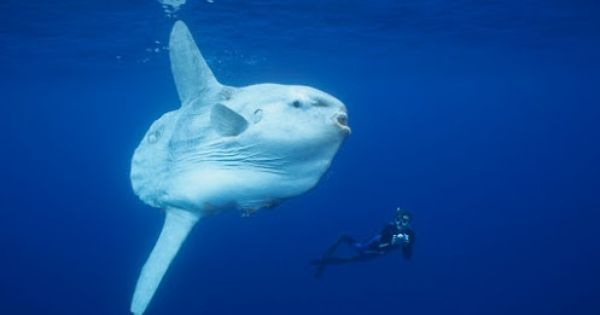 Big fish the ocean sunfish is the largest teleost for Big fish in the ocean