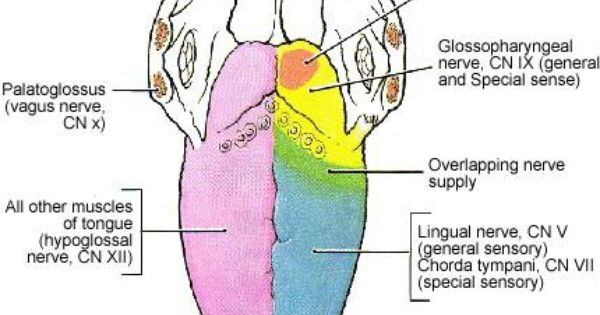 Mot  Cn Xii Hypoglossus Sens  Cn Ix Glossopharyngeus  U0026 Cn V N  Lingualis Maku  Cn Ix