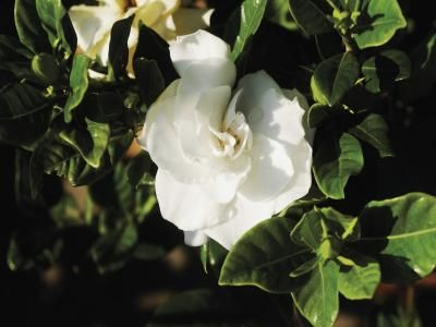 Las Mejores Plantas Trepadoras Para Pergolas Arbusto De Gardenia Gardenias Gardenias Blancas