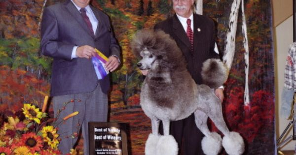 Montana S Premier Poodle Breeders And All Breed Show Handling