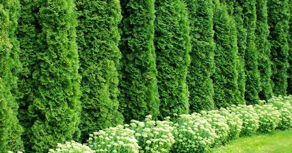 Haie de cedres recherche google jardin a m pinterest for Google jardin