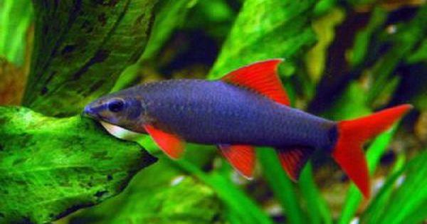 3x Rainbow Shark Price 32 Aquarium Fish Tropical Fish Pet Fish