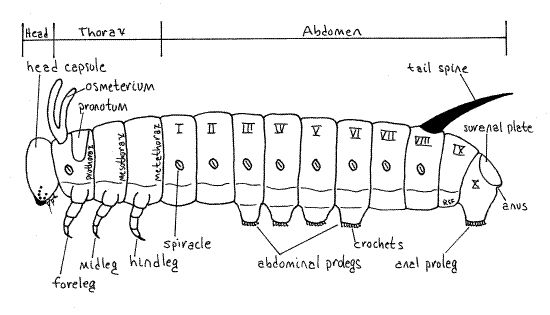 caterpillars anatomy diagram caterpillars