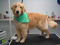 Paw Tyme Dog Grooming And Spa Barrie Ontario Abby Golden