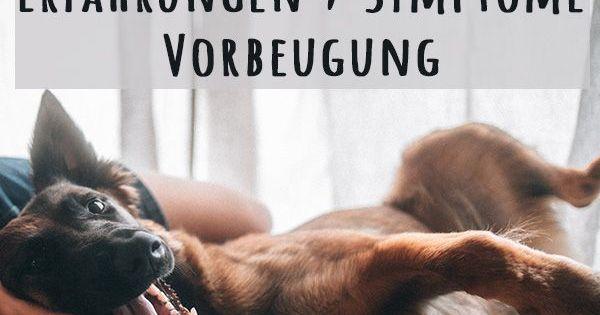 Scheintrachtigkeit Bei Hundinnen Erfahrung Symptome Vorbeugung Hunde Hundegesundheit Hunde Schlafen