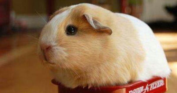 Hamster wagon Awesome Stuff! Pinterest Funny animal