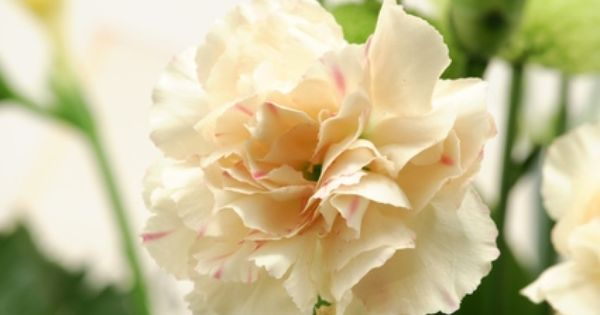 How To Grow Carnations In Pots Ehow Carnations Growing Carnations Flower Pots