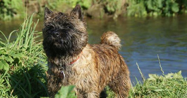 Cairn Terrier Vom Farbenspiel Cairn Terrier Ich Liebe Hunde Terrier