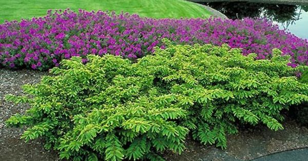 Japanese yew looks good with purple gardening for Hardy low maintenance shrubs
