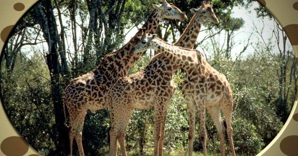 Best Animal Giraffes Photo 3
