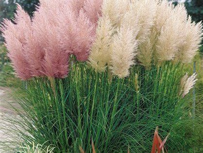 pampasgras kollektion cortaderia selloana wei rosa 5ltr topf gartenpflanzen pinterest. Black Bedroom Furniture Sets. Home Design Ideas