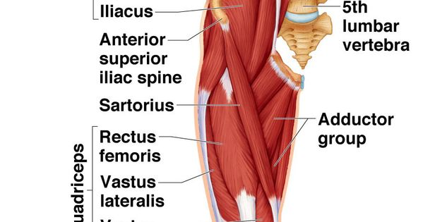 Front of thigh Anatomy Pinterest Thighs Anatomy and