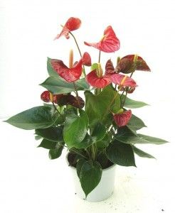 Suitable Plants For Indoor Gardening Anthurium Plants Indoor Garden