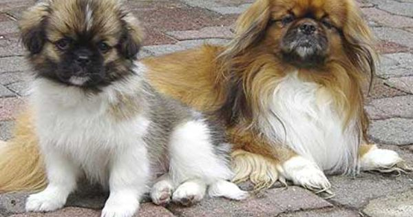 Rescue Rehoming Tibetan Spaniel Pekingese Dogs Spaniel Breeds