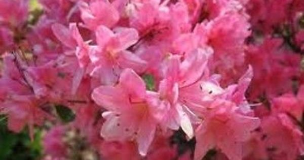 Blooms And Planters Azaleas Rhododendron Bloom