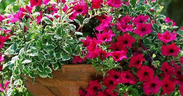 Plantes et feuilles pour jardini res estivales en t for Plante pour jardiniere exterieur