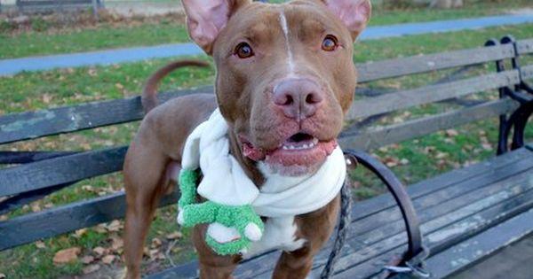 Troy A1096501 Dog Adoption Pitbull Mix Dogs Up For Adoption