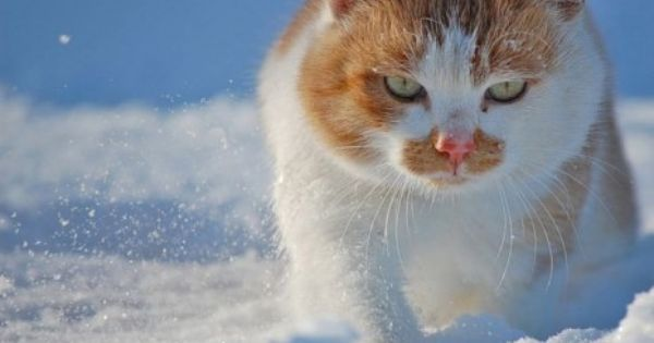 Snow Cat Hd Wallpaper Cute Cats And Kittens Kittens Cutest Kittens Cutest Baby
