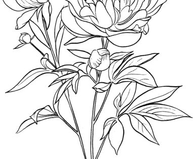 Paeonia Officinalis Or European Common Peony Coloring Page Free Printable Coloring Pages Peony Drawing Flower Coloring Pages Coloring Pages