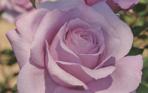 Princess Diana Rose Jackson Perkins 2011 Rose Orders