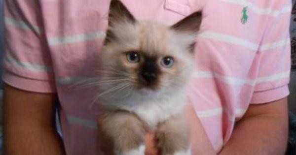 Ragdoll Cats Ragdoll Kittens For Sale Ragdoll Breeder Ny In 2020