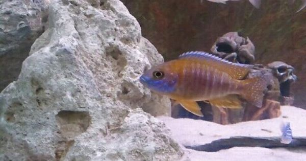 A Maylandi Sulfur Head Peacock Akvariumnaya Rybka