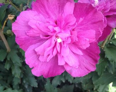 Althea Raspberry Smoothie Another Double Flowering
