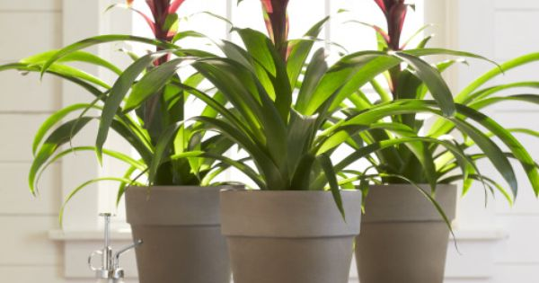 fresh pick of the month bromeliad we recently discovered a houseplant at the home depot. Black Bedroom Furniture Sets. Home Design Ideas