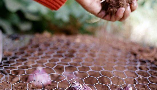 tulip bulb planting @K D Eustaquio so the squirrels won't get your