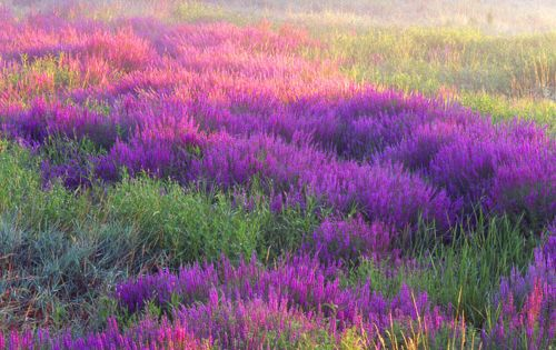 Purple Loosestrife, Troy Meadows, New Jersey