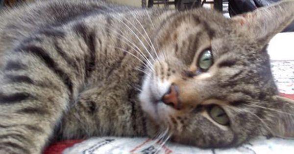 Black Tiger Stripe Tabby Grey Tiger Cat Simba Is Grey With Black