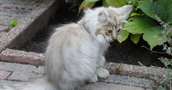 Caithlin Van Serrurier Amber Smoke Norwegian Forest Cat Animals Beautiful Cat Colors Tortoiseshell Tabby