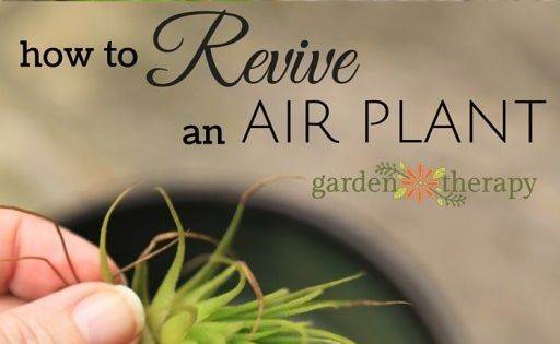 how to revive a sick air plant air plants plants and water