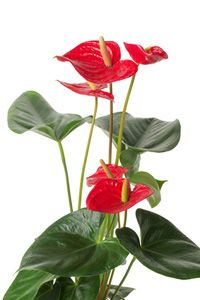 Care Of Anthurium Plants Houseplants And Flowers Care Information And Tips Anthurium Plant Plant Care Houseplant Plants