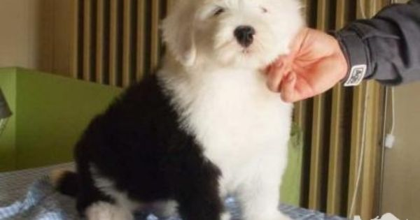 Old English Sheepdog Puppies Classifieds Old English Sheepdog Puppies For Sale In Melbourne With Images Old English Sheepdog Old English Sheepdog Puppy English Sheepdog