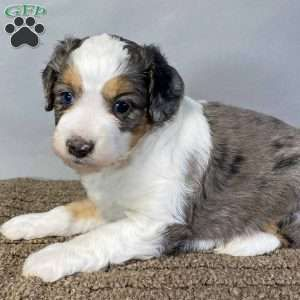 Pin On Australian Shepherd Puppy