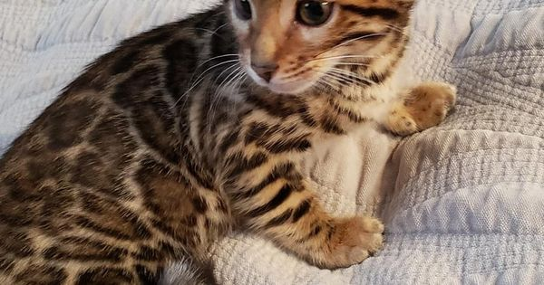 Tica Cfa Bengal Kittens For Sale Extraordinary Bengals Bengal