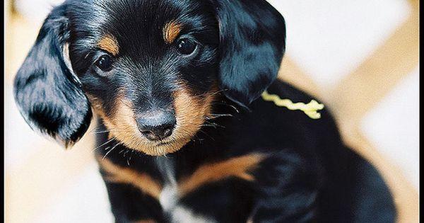 i miss my baby Dachshund Puppy
