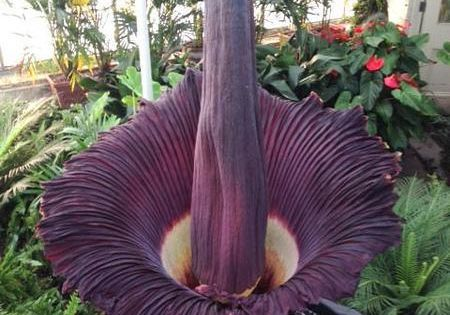 What S Your Corpse Flower S Name Ours Is Morty By Elizabeth Licata Corpse Flower Planting Flowers Flower Names
