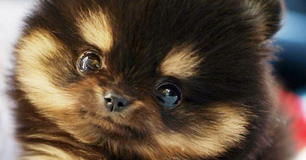 Teacup Pomeranian Teddy Bear | Pomeranians | Temple of Dogs - Part