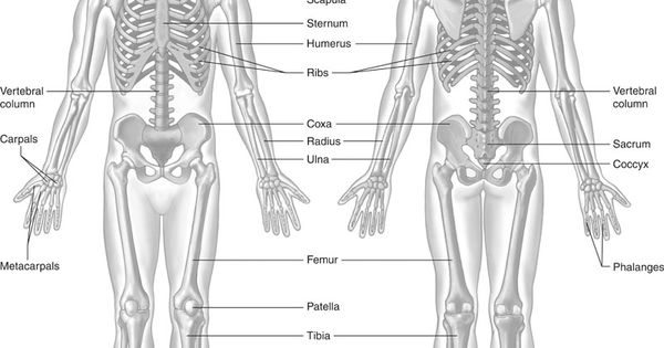 human skeleton bones bone markings humerus and femur human anatomy bones labeling worksheets. Black Bedroom Furniture Sets. Home Design Ideas
