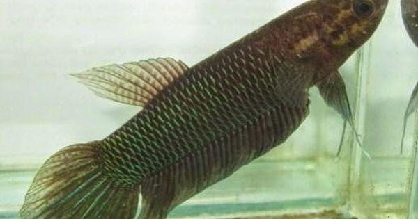 Jenis Ikan Hias Aquarium Air Tawar Ikan Betta Http Www Seputarikan Com 2015 10 Jenis Ikan Hias Aquarium Air Tawar Ikan Ht Betta Aquarium Air Tawar Aquarium