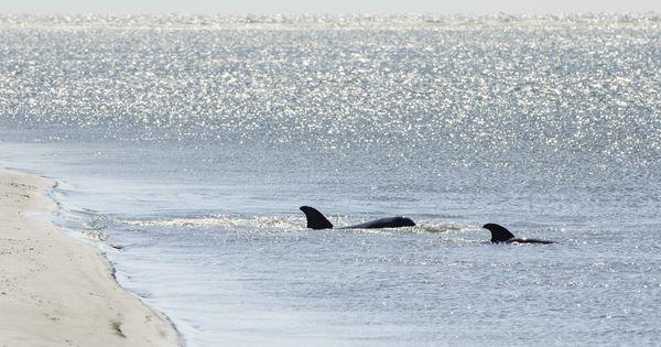 Dolphins swim just off kiawah island 39 s 10 mile beach for Kiawah island fishing