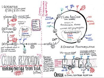 Cellular Respiration Summary Sheet (in color) | Biology