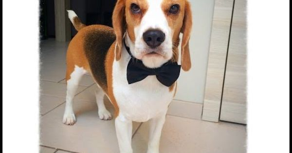 Beagle Allegri E Impazziti Beagle Dogs Beagle Dog