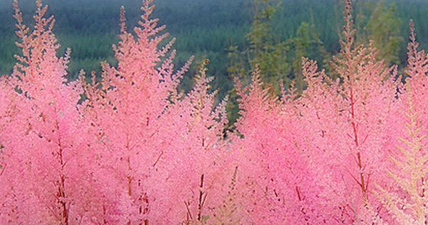 The Mourne Mountains, Northern Ireland Beautiful pink trees they look similar to