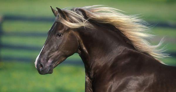 Rocky Mountain Horses....
