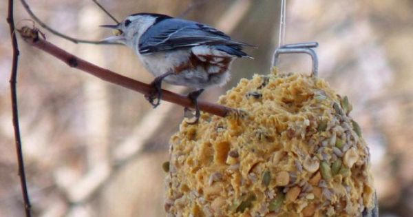 Diy How To Make Suet Winter Bird Feeders Winter Bird Feeders